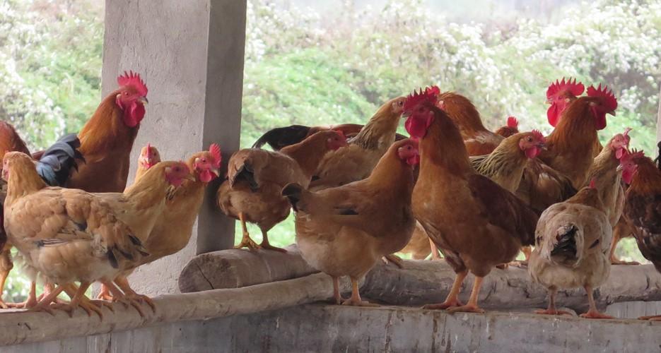 Khởi nghiệp chăn nuôi gà